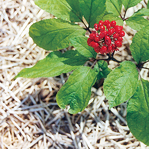 The Panax Ginseng Plant